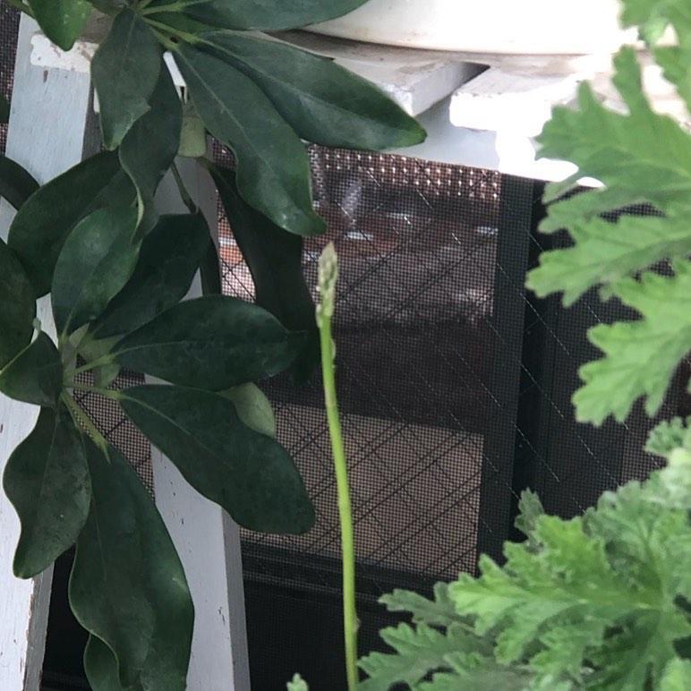 今朝は 久しぶりにじっくり観察しながら水やりしました〜  隙間になにやら発見❣️ もしや アスパラ君? ・ ・ 細っ‼️ ・ ・ ・ #ベランダ #ベランダガーデニング #ベランダ菜園 #アスパラガス #小春日和 #楽しみ